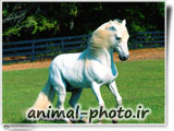 white horse wallaper hd