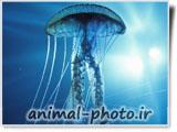 عکس عروس دریایی بسیار زیبا و خوشگل