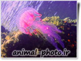 خوشگل ترین عروس دریایی به رنگ صورتی