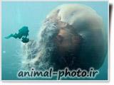 عروس دریایی غول پیکر
