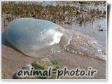عکس زیباترین موجودات دریایی - عروس دریایی