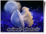 عروس دریایی