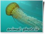 تصویر رویایی از عروس دریایی