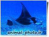 manta ray photo gallery