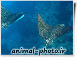 عکس صفره ماهی - گالری عکس حیوانات