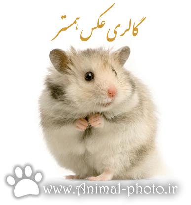 گالری عکس همستر - موش خانگی