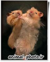 رکس بامزه همستر ها و موش ها