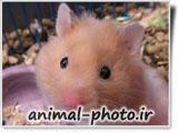 موش همستر خوشگل و ناز