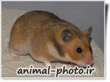 hamster image gallery