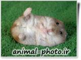 عکس همستر بامزه کوچولو