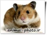 عکس همستر - موش