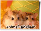 عکس های خنده دار و بامزه موش ها - همستر