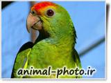 تصویر پرندگان زینتی