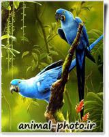 طوطی آبی ماکائو