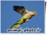پرواز پرنده طوطی