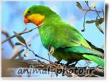 طوطی بسیار زیبای سبز رنگ