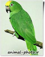 عکس طوطی آمازون