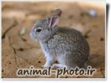 عکس خرگوش خاکستری