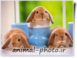 والپیپر بزرگ اچ دی از خرگوش ها