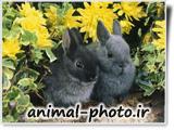 دو بچه خرگوش سیاه ملوس