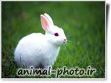 تصویر خرگوش سفید خوشگل