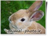 گالری عکس خرگوش زبل خانگی