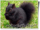 عکس سنجاب سیاه رنگ
