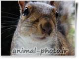 عکس نزدیک از صورت سنجاب